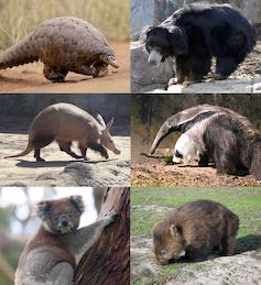 Photographs of pangolin, sloth bear, anteater, wombat, koala, aardvark.