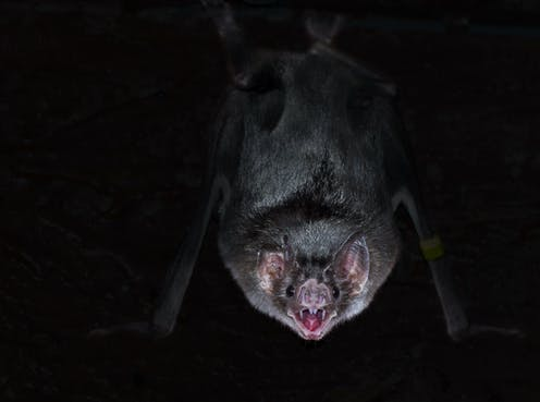 Vampire bat hanging upside down in the dark.