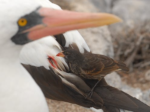 A small bird sits on a larger bird and eats its blood