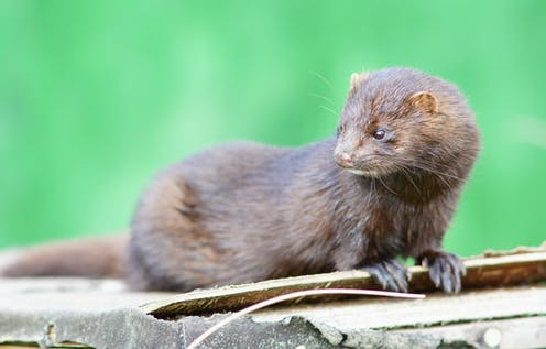 An American Mink sitting on top of some wood