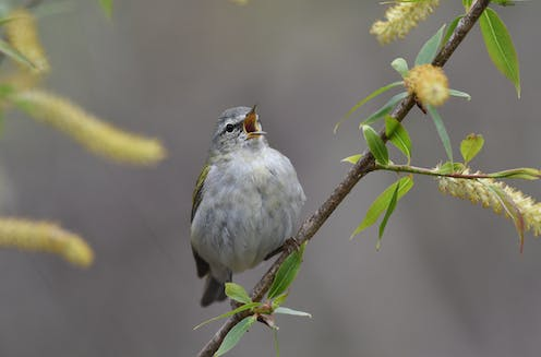 Male Tennessee warbler calling