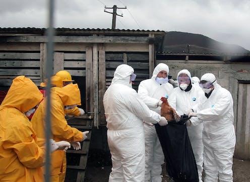 Des agents du service de santé albanais collectent des poulets.