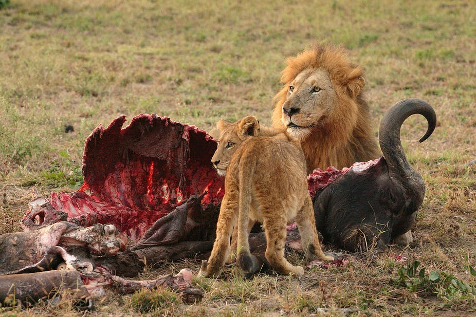 Lion Hunt Quotas Could Be Good For Animals But Bad For Humans