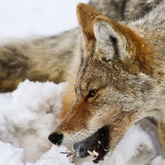 Coyote with prey in mouth