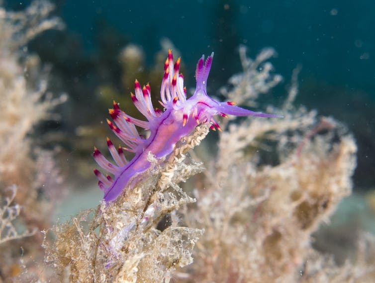 A vibrant purple and red nudis near the ocean floor.