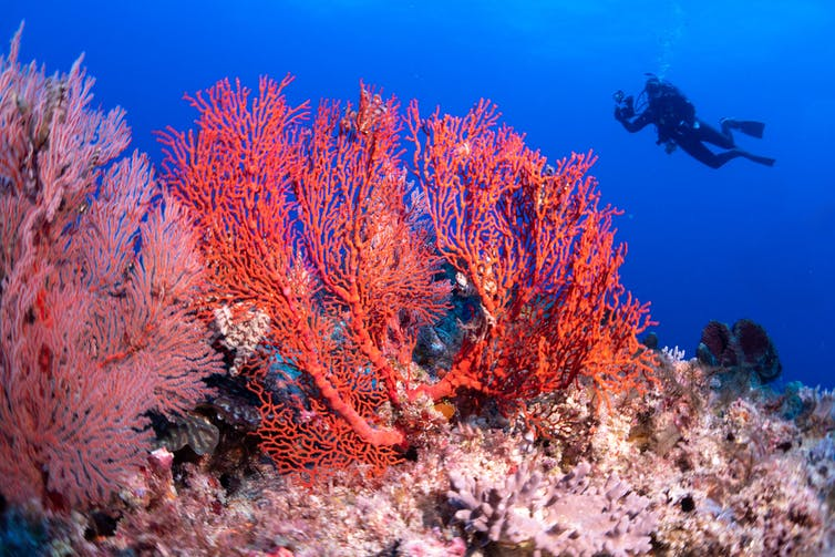 Red coral with scuba diver in the background