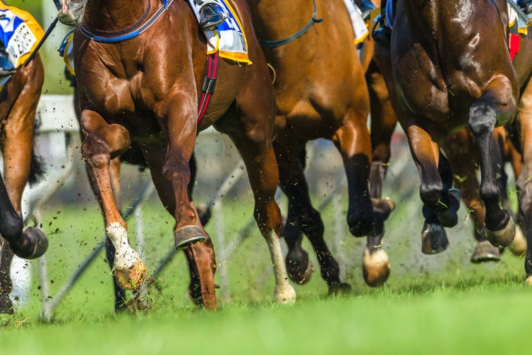 Horses' legs as they race across a track