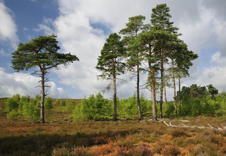 A stand of towering pine trees amid scrub and small trees on a dry heathland.