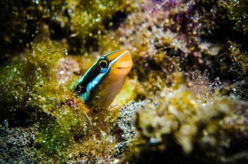 A cheerful looking fish peers out of some coral.