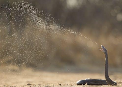 A spitting cobra.