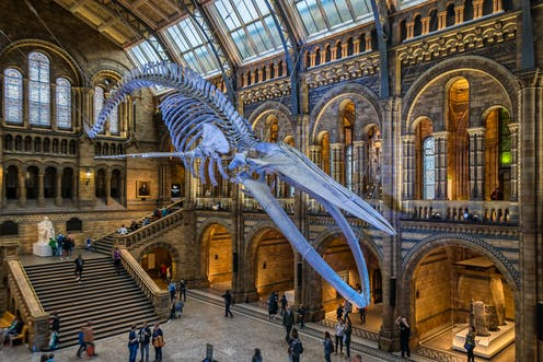 Blue whale skeleton hanging in museum