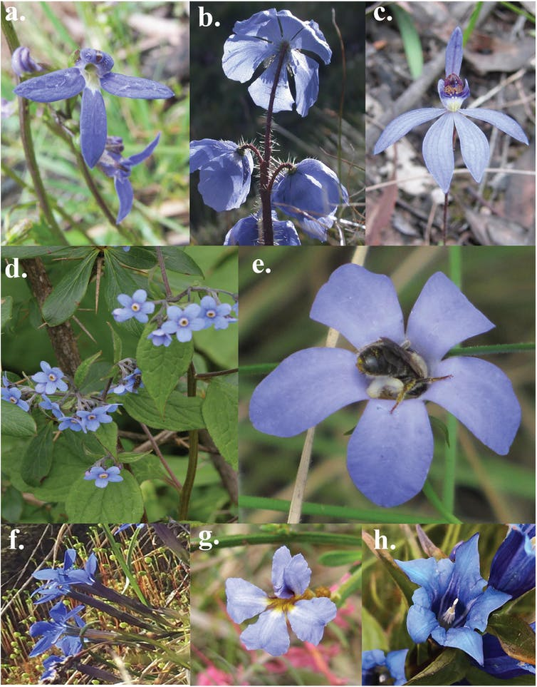 The mystery of the blue flower: nature's rare colour owes its existence to bee vision