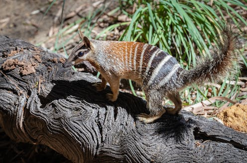 A numbat, orange and black with white stripes and a fluffy tail, walks on a log