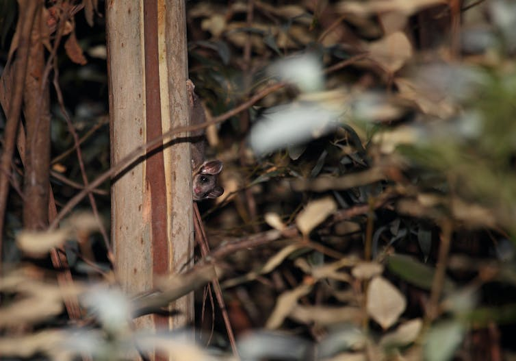 A Leadbeater's possum peers out from behind a tree trunk.