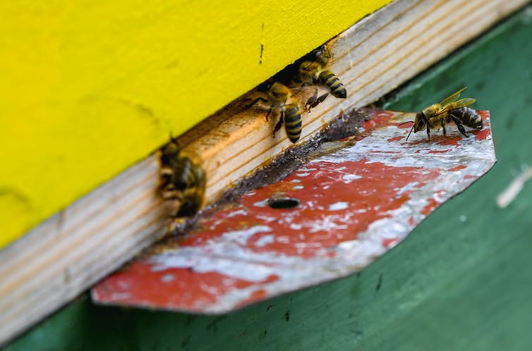 Honeybees climbing into the entrance of a hive.