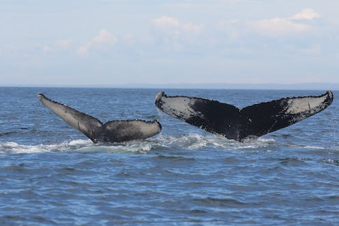 Tails of two humpback whales disappearing beneath the waves.