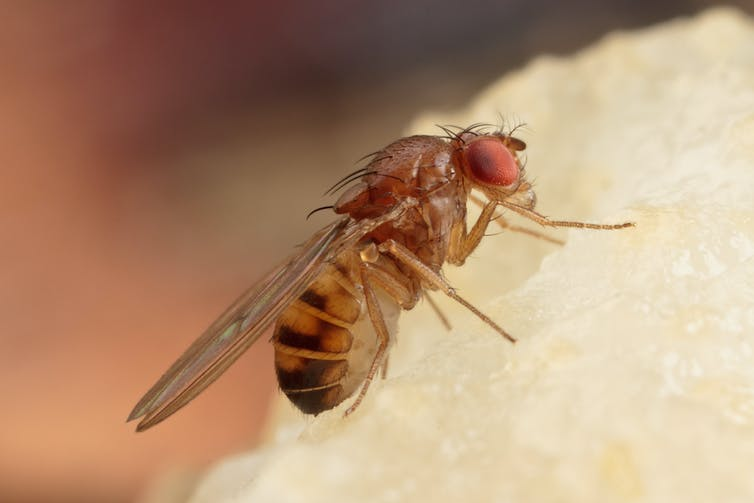A fruit fly on a piece of food.