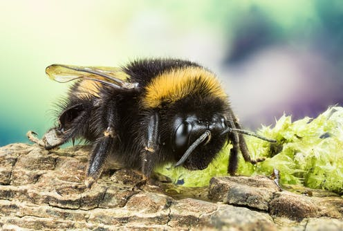 A buff-tailed bumblebee on a patch of mossy bark.