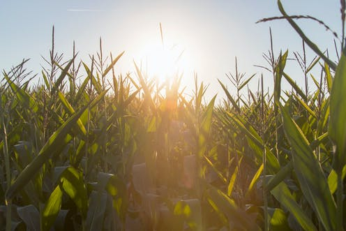 crops growing in sunny field