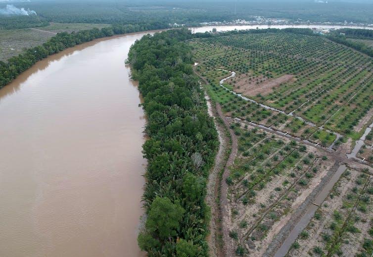 Foto aeral pesisir hutan bakau dengan perkebunan kelapa sawit di sebelahnya.