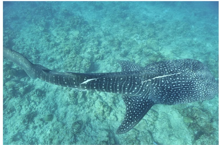A whale shark with injuries.