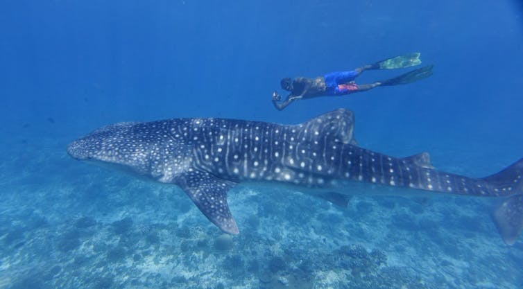 A swimmer next to a whale shark.