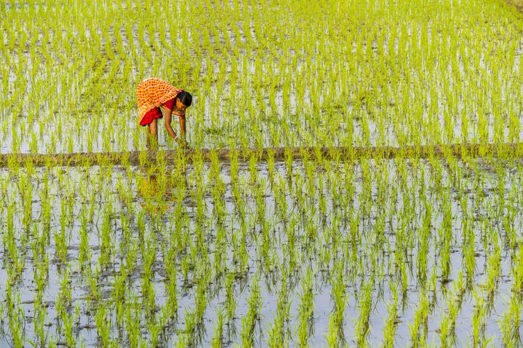 Rice farmer in a field