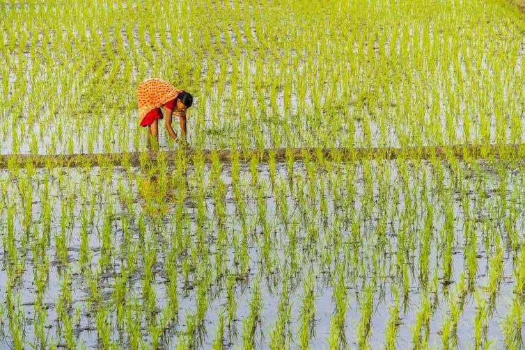 Rice farmer in a field