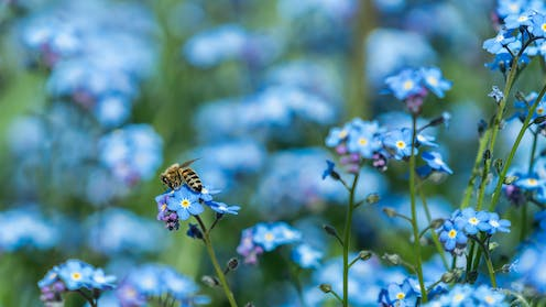 Many small blue flowers, with a bee perched on one of them.
