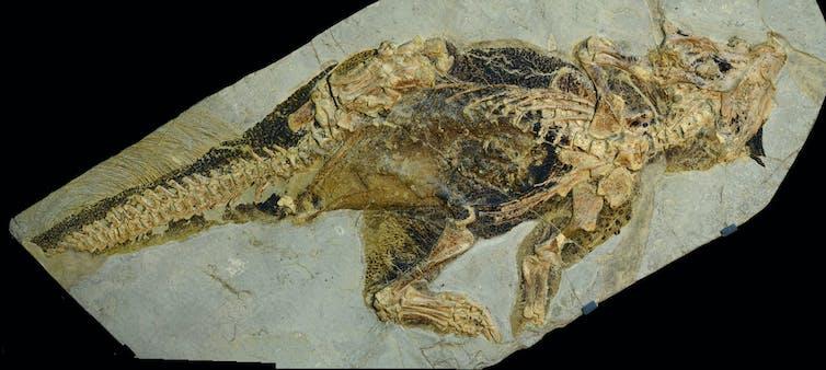 A dinosaur fossil