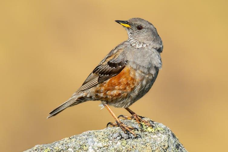 An Alpine accentor bird on a rock