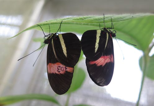 Two black and red butterflies mating