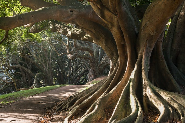 An enromous Moreton Bay fig trunk in a park