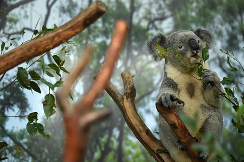 A koala eats leaves in a tree.
