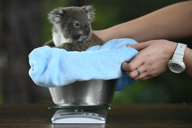 A koala sits in a bucket.