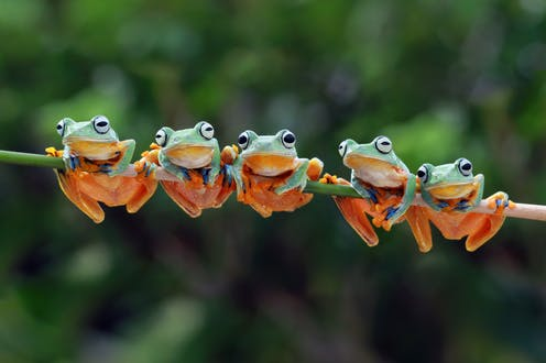 Five green and orange tree frogs holding onto a branch.