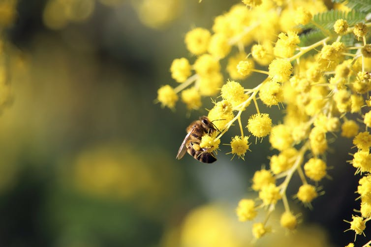 Bee approaching wattle flower