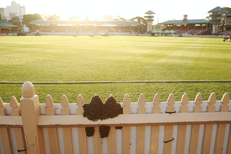 Bee swarm on a fence during a 2018 cricket match