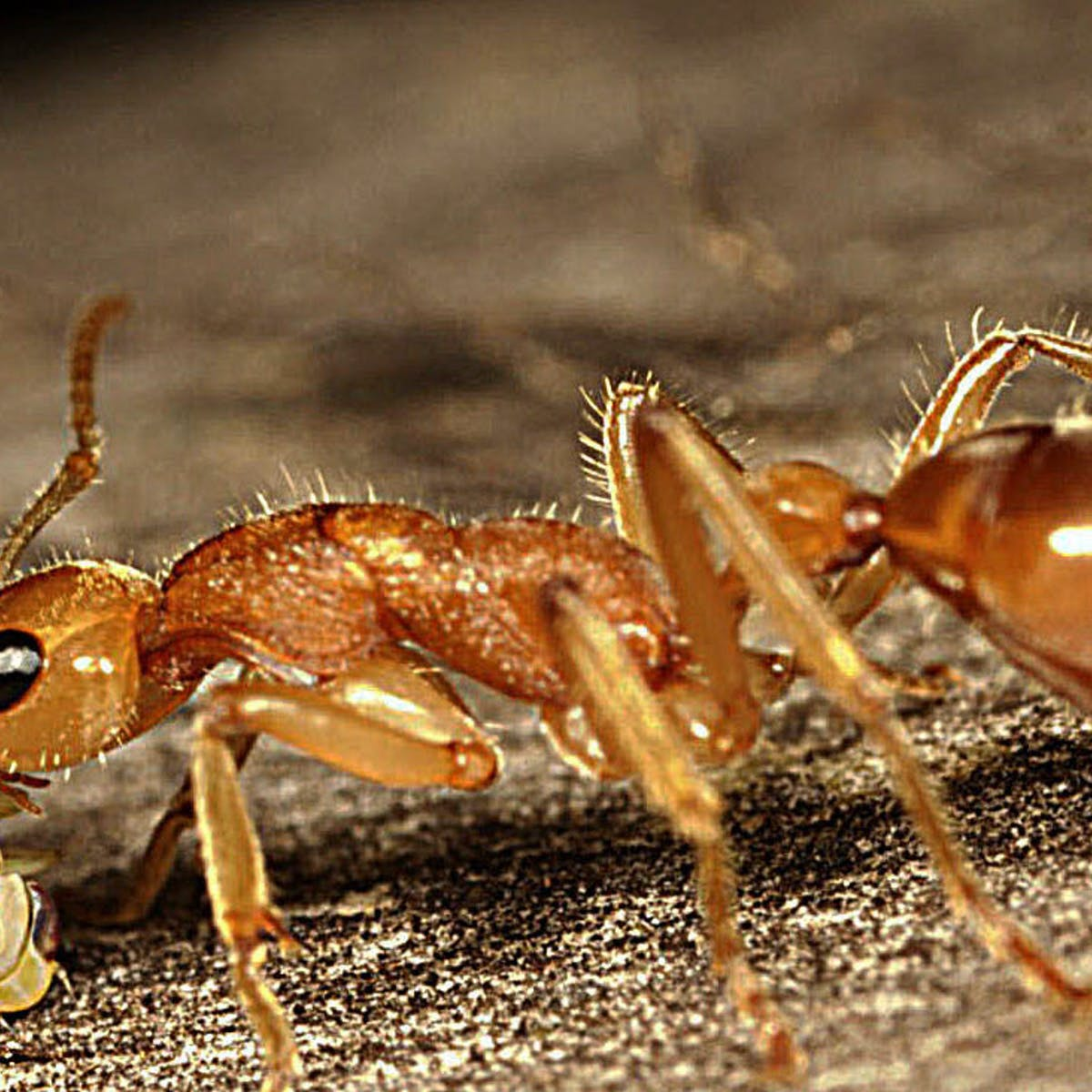 Australian endangered species: Dinosaur Ant