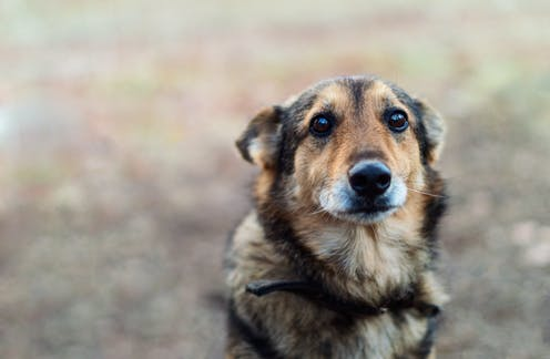 Sad-looking brown dog with ears back stares into the camera