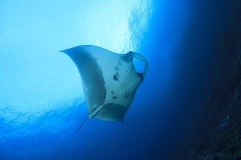 A manta ray swimming near the ocean surface.