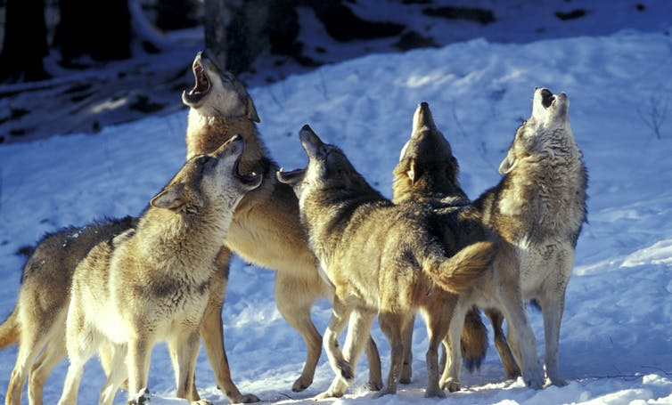 Five wolves howl together in the snow.