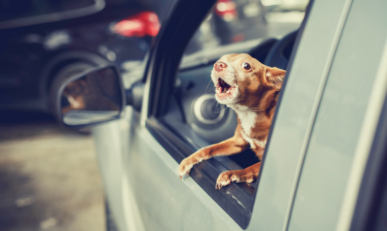 A small dog inside a car barks from the driver's side window, which is open.
