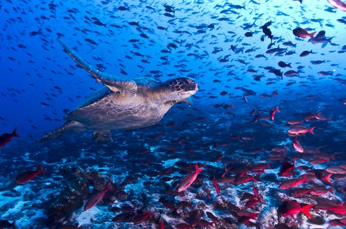 A turtle swims among a large number of fish