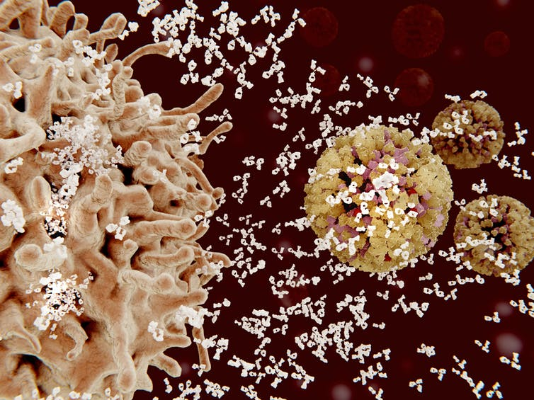 Immune cells fighting off flu with antibodies