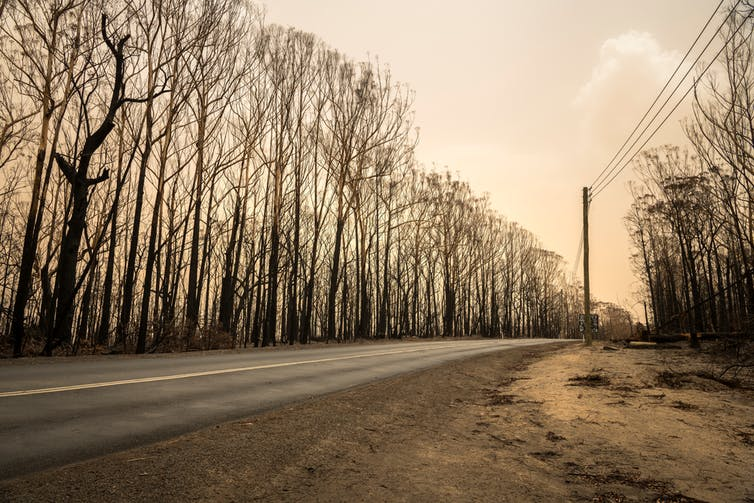 Burnt trees line a road