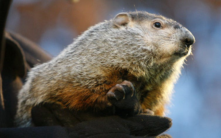 Punxsutawney Phil on Groundhog Day