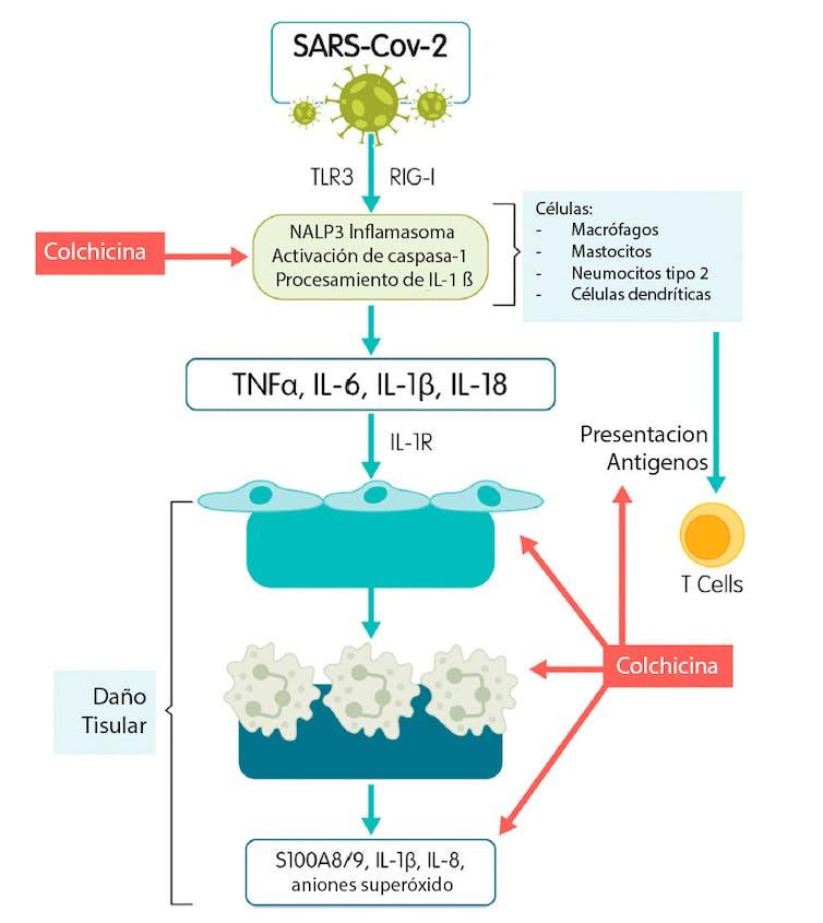 Mecanismo de acción antiinflamatorio de la colchicina y su relación con la infección por SARS-CoV-2. Author provided