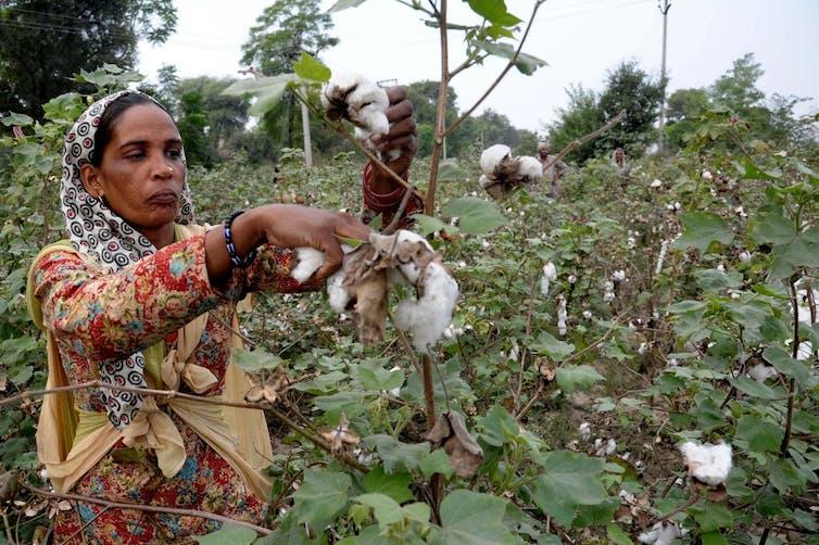 Sur cette photo prise le 29octobre 2014, des ouvriers indiens récoltent le coton dans un champ à la périphérie de Barnala, dans l'État du Pendjab