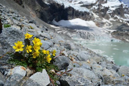 Small, yellow flowers poke out of rocks near a glacier.